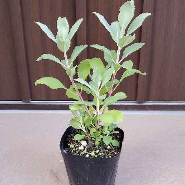 浄化のハーブ♡ホワイトセージ ポット苗117 多年草宿根草 良い香りです♡ ハンドメイドのフラワー/ガーデン(ドライフラワー)の商品写真