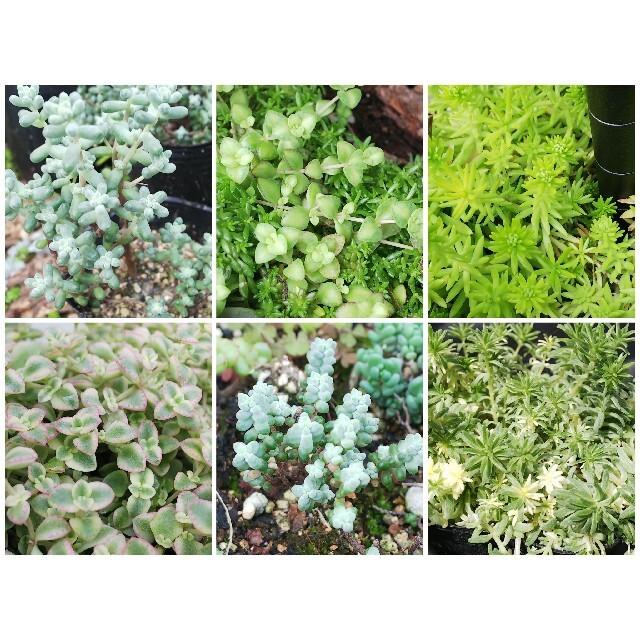多肉植物 お好きなセダム10種類詰め合わせセット ハンドメイドのフラワー/ガーデン(その他)の商品写真