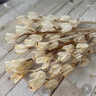ドライフラワーウバユリの殻 ホワイト5本(ドライフラワー)