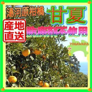 神奈川県湯河原産 甘夏 あまなつ🍊約8kg ご家庭用 訳あり不選別 数限🉐(フルーツ)