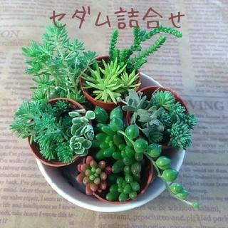 多肉植物【セダム詰合せ】虹の玉・グリーンネックレス他(その他)