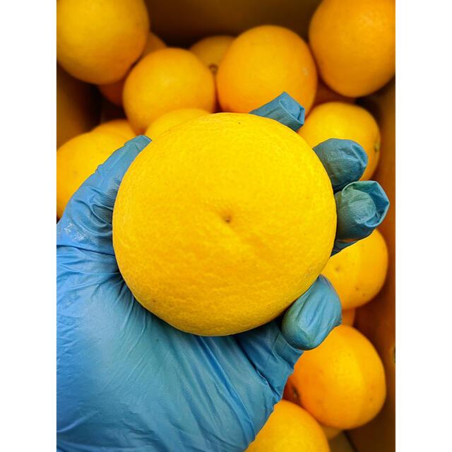 超オススメ!まるで食べるみかんジュース!!【三崎タンゴール】Lサイズ 5kg 食品/飲料/酒の食品(フルーツ)の商品写真