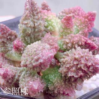 多肉植物 韓国苗 アドロミスクス レッドドリアン 葉挿し 1枚(その他)