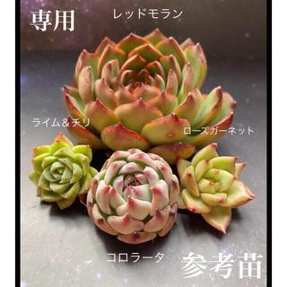 webuwi様 専用お得セット 多肉(その他)