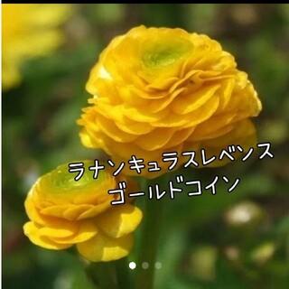 ラナンキュラスゴールドコイン花苗  2株set(その他)