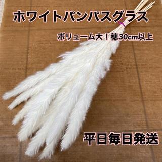 ホワイトパンパスグラス ボリューム大(ドライフラワー)