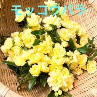 [お得パック]モッコウバラ 葉付き 生花 30枝 フレッシュ 花材 自然 ②(ドライフラワー)