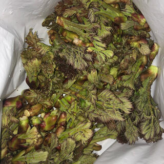 〈予約〉北海道産天然物 タラの芽(野菜)