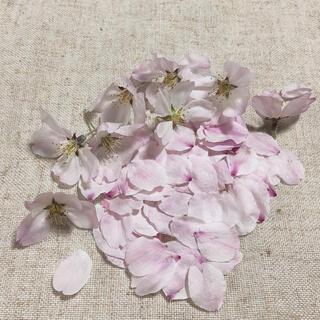令和3年 ドライフラワー ソメイヨシノ 桜 さくら 花びら+B級品(ドライフラワー)