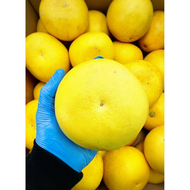 家庭用【土佐文旦】L〜2Lサイズ (約24玉) 10kg 食品/飲料/酒の食品(フルーツ)の商品写真