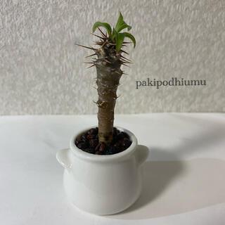 パキポディウム 多肉植物 ハイドロカルチャー(ドライフラワー)