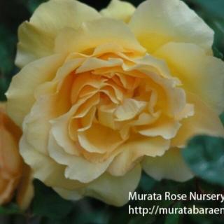 薔薇の苗オールドローズ(その他)