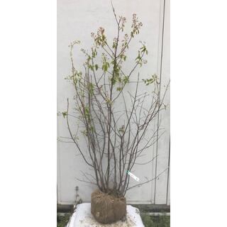 《現品》ジューンベリー 株立ち 樹高1.4m(根鉢含まず)71【果樹苗木/植木】(その他)