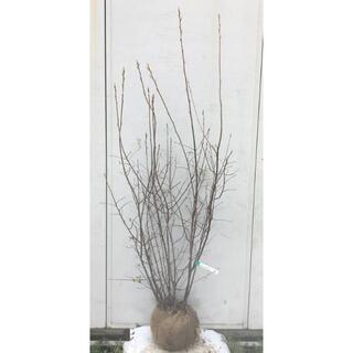 《現品》ジューンベリー 株立ち 樹高1.6m(根鉢含まず)73【果樹苗木/植木】(その他)