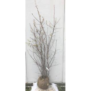 《現品》ジューンベリー 株立ち 樹高1.6m(根鉢含まず)74【果樹苗木/植木】(その他)