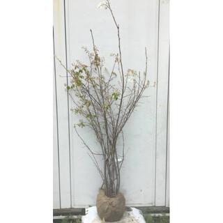 《現品》ジューンベリー 株立ち 樹高1.6m(根鉢含まず)75【果樹苗木/植木】(その他)