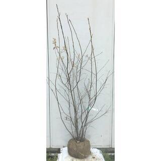 《現品》ジューンベリー 株立ち 樹高1.7m(根鉢含まず)77【果樹苗木/植木】(その他)