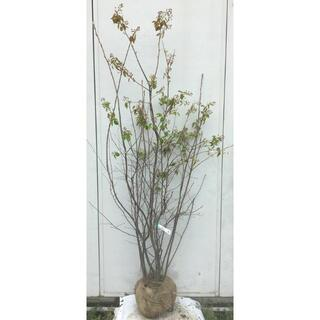 《現品》ジューンベリー 株立ち 樹高1.8m(根鉢含まず)79【果樹苗木/植木】(その他)