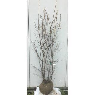 《現品》ジューンベリー 株立ち 樹高1.8m(根鉢含まず)80【果樹苗木/植木】(その他)