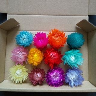 Uraりん様専シルバーデイジー ヘッド 12色 ドライフラワー ハーバリウム花材(ドライフラワー)