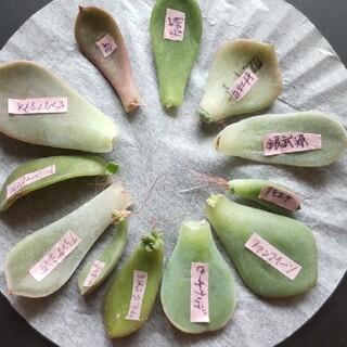 多肉植物  葉挿し  12枚(その他)