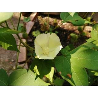 綿 わた種60粒 無農薬 自宅栽培 ホワイトコットン 和綿 綿花 ハンドメイド(ドライフラワー)