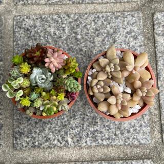 ちっちゃい多肉植物の寄せ植え1号鉢×2 φ3.5cm-1