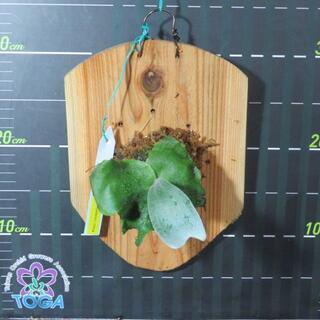 ビカクシダ Platy. (stemaria × andinum) 'NUK'