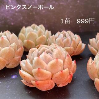 ピンクスノーボール 多肉植物(その他)