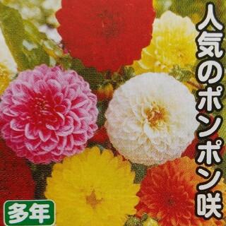 ダリアの種    ポンポン咲きミックス+おまけ(その他)