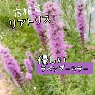 リアトリス 花苗 1ポット(その他)