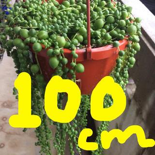 グリーンネックレス 多肉植物(その他)