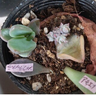 多肉植物 葉挿し 4種類 おまけ付き(その他)