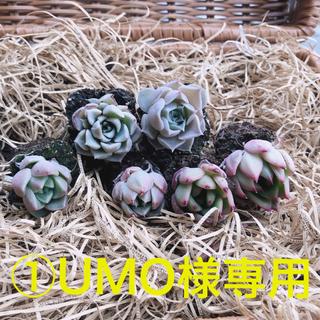 ①UMO様専用 韓国多肉植物 3種6苗セット❤お名前つけます(その他)