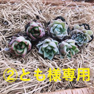 ②とも様専用 韓国多肉植物 3種6苗セット❤お名前つけます(その他)