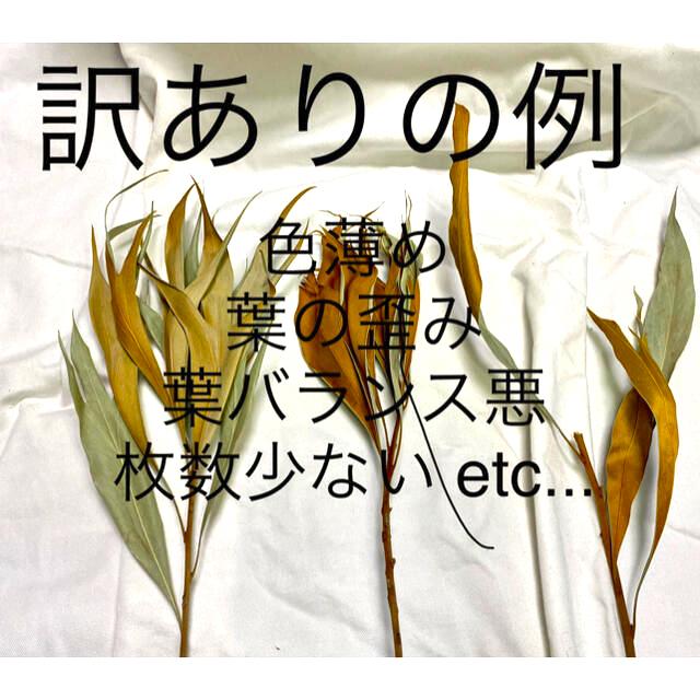 訳あり特価 グレビレアゴールド10本(ドライフラワー) ハンドメイドのフラワー/ガーデン(ドライフラワー)の商品写真