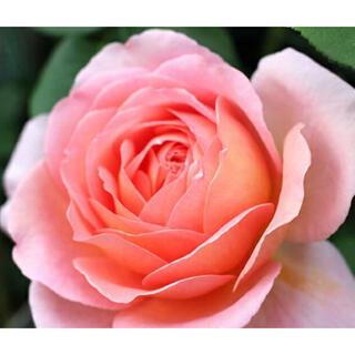 バラ苗 ER カタログ落ち 四季咲き フルーツ香 強香 薔薇(その他)