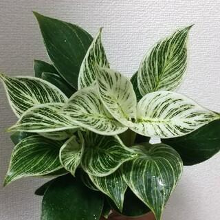 観葉植物   フィロデンドロン   バーキン