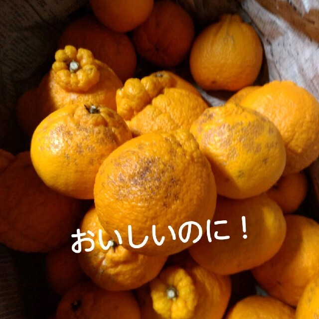 露地不知火 箱込み5キロ 食品/飲料/酒の食品(フルーツ)の商品写真