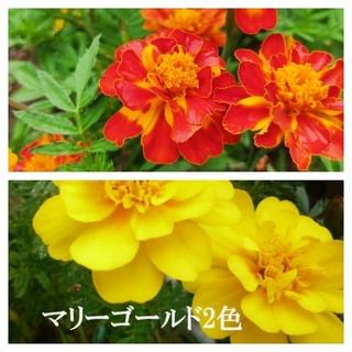 春まき花の種 マリーゴールド2色各30粒 フレンチタイプ 八重咲き(その他)