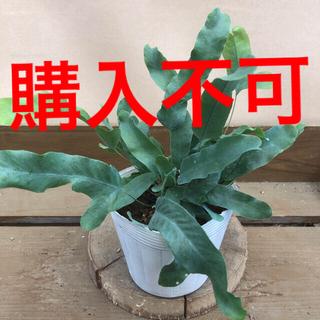 観葉植物 シダ フレボディウム ブルースター(その他)