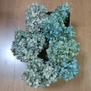 【AK様確認用】アジサイドライフラワー 青緑~緑青~黄緑~クリーム 茎有7(ドライフラワー)