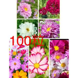 コスモスの種 100粒 シーシェル、ピコティ、ダブルクリック、カラフルミックス(プランター)