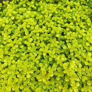 多肉植物 黄金丸葉万年草 カット苗40g(その他)
