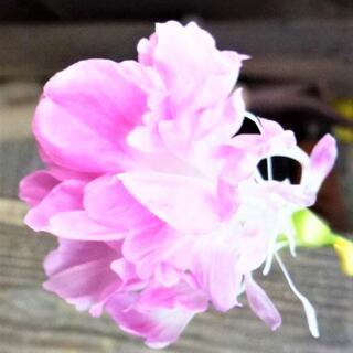 ☆あさがお種子☆ピンク色の羽根咲あさがお 15粒+選べるおまけ付き(その他)