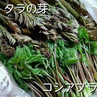 タラの芽 (たらの芽) コシアブラ (こしあぶら) 春の山菜セット♪ おまけ付