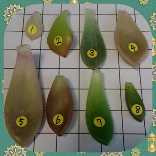 多肉植物の葉挿し(その他)