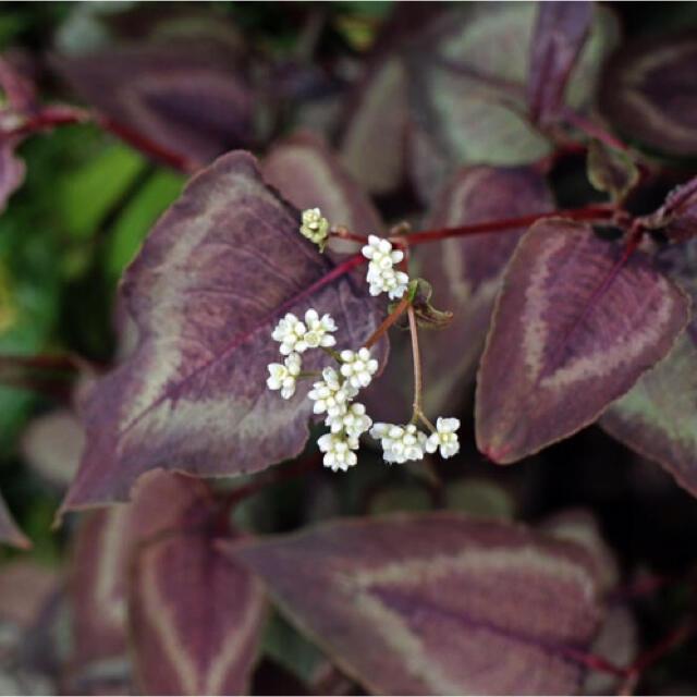 タデレッドドラゴン 苗 ハンドメイドのフラワー/ガーデン(その他)の商品写真