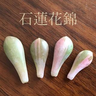 多肉植物 エケベリア 石蓮花錦 葉挿し!!(その他)