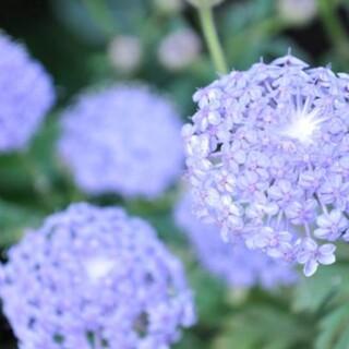 花種ブルーレースフラワー(その他)